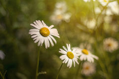Springtime daisies Stock Photography