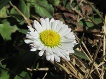 Springtime daisy Stock Photos