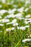 Springtime daisy flower closeup Royalty Free Stock Photography