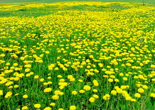 Springtime -a dandelion has bloomed Royalty Free Stock Photography