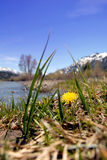 Springtime Dandelion In The Mountains Royalty Free Stock Images