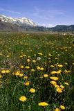 Springtime Dandelions In The Mountains Royalty Free Stock Image