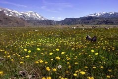 Springtime Dandelions In The Mountains Stock Photo