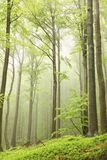 Springtime deciduous forest in the fog