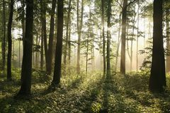 Free Springtime Deciduous Forest In Foggy Weather Oak Trees Covered With Fresh Green Leaves Lit By The Rising Sun Morning Mist And Royalty Free Stock Images - 139563629