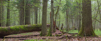 Springtime deciduous stand of Bialowieza Fores Stock Photo