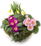 Springtime decoration - flower bowl with primroses and daffodils Stock Photography