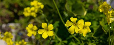 Springtime, easter time. Buttercups wild yellow flowers background, banner. Closeup view royalty free stock photos
