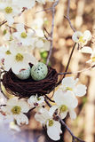 Springtime Eggs and Nest. Beautiful image of two eggs in a small nest with dogwood blossoms surrounded it. Extreme shallow depth of field with some blur Royalty Free Stock Photography