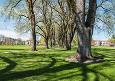 Springtime elm tree columns, Oregon State University, Corvallis, Oregon. Corvallis, OR, April 3, 2016: Lower campus elm lined path, Oregon State University royalty free stock photography