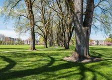 Springtime elm tree columns, Oregon State University, Corvallis, Royalty Free Stock Photography