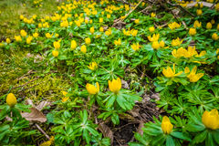 Springtime eranthis flowers in a garden Royalty Free Stock Photo