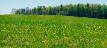 Springtime field with dandelion flowers on bright sunny day Stock Photos