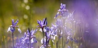 Springtime flower banner Royalty Free Stock Images