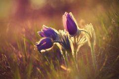 Springtime flower. Beautiful purple little furry pasque-flower. Pulsatilla grandis Blooming on spring meadow at the sunset. Springtime flower. Beautiful purple royalty free stock photography