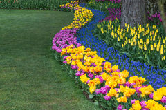 Springtime Flower Border. A border of colorful tulips and hyacinth plants wind along the border of manicured lawn. Copy space stock images