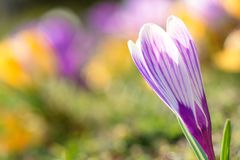 Springtime flower - crocus stock photography