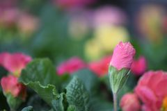 Springtime flower of a pink color primrose in bud with a colorful natural garden blur background. A primrose flower in bud with colors of green pink and yellow Royalty Free Stock Photos