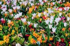 Springtime flowerbed bloom wildflower and tulip mixed colourful Royalty Free Stock Photos
