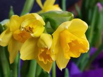 Soft closeup of yellow daffodil jonquil narcissus royalty free stock photos