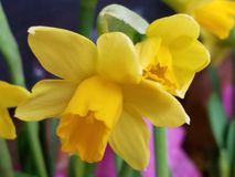 Soft closeup of yellow daffodil jonquil narcissus stock image