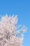 Springtime flowering cherry tree against blue sky Royalty Free Stock Photo