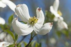 Springtime flowering dogwood flowers Royalty Free Stock Photography