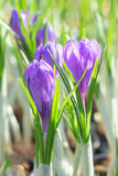 Springtime flowering of first spring purple crocus flowers Stock Image