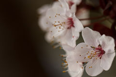 Springtime flowering plum blossoms. Moody flowering plum blossoms against a dark background Royalty Free Stock Images