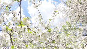 Springtime flowers blooming on tree. White flowers swinging in the wind stock footage