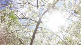 Springtime flowers blooming on tree. White flowers swinging in the wind stock video footage