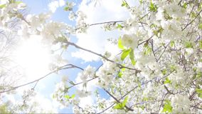 Springtime flowers blooming on tree. White flowers swinging in the wind stock video