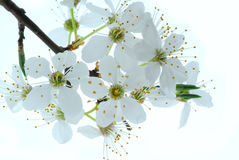 Springtime Flowers On Tree Stock Photography