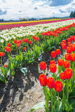 Springtime Flowers Tulip Farm. Vertical image of tulip farm with variously colored flowers. Vertical. Copy space stock photography