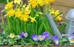 Springtime flowers and watering can. Close on daffodils and viola in a flowerbed with watering can Royalty Free Stock Photos