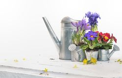 Springtime flowers  and watering can Stock Photos