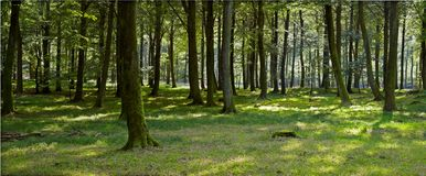 Springtime in the forest. A panorama photo of springtime in the forest Royalty Free Stock Images