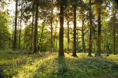Springtime forest Royalty Free Stock Image