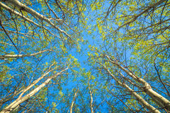 Springtime forest canopy. Looking up into the canopy of a springtime aspen forest Royalty Free Stock Photos