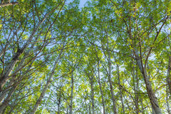 Springtime forest canopy. Looking up into the canopy of a springtime aspen forest Stock Images
