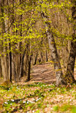 Springtime Forest 5. The Faget Forest in the springtime, full with anemones and excellent paths for biking and walking. It's a forest near Cluj Napoca, Romania Stock Photos