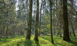 Springtime at forest with fresh green grass Stock Images