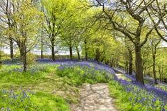 Springtime forest landscape with blue bells Stock Photography