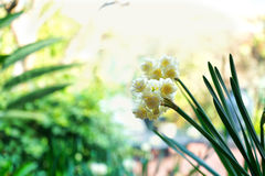 Springtime garden background with jonquil flowers. Springtime garden setting with close up of beautiful Erlicheer jonquil daffodils, shallow DOF royalty free stock image