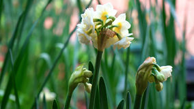 Springtime garden background with jonquil flowers. Springtime garden setting with close up of beautiful Erlicheer jonquil daffodils, shallow DOF stock image