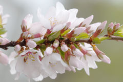 Springtime garden, blooming cherry tree branch. flowers, branch with buds and young green leaves. Soft focus background. Stock Photo