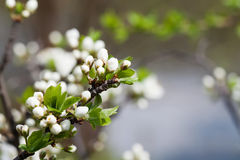 Springtime garden, blooming tree landscape. Apple flowers, branch with buds and young green leaves. Soft focus Stock Images
