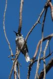 New Holland honeyeater perched on bare branch royalty free stock photos