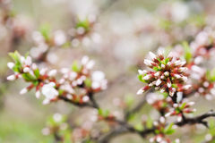 Springtime garden landscape with chinese cherry shrub. White and pink flower buds close-up. Prunus tomentosa plant. Soft Royalty Free Stock Photo