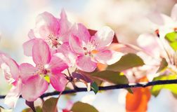 Springtime garden landscape. Pink flowers fruit tree branch macro view. Beautiful spring blossom purple violet petals royalty free stock photography